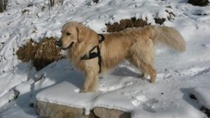KYLLE IL GOLDEN RETRIEVER DI DON ACHILLE (3)
