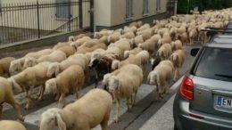 transumanza pecore balisio (1)