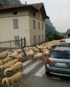 transumanza pecore balisio (2)