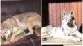 Cani-scappati-lupo-cecoslovacco