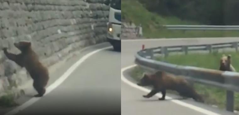 Orsi video Trentino