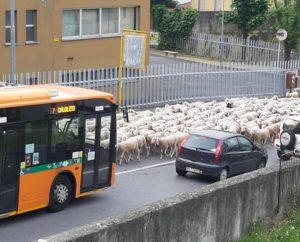pecore transumanza lecco s.giovanni corso monte santo 23mag20 (1)