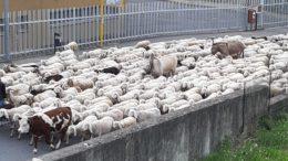 pecore transumanza lecco s.giovanni corso monte santo 23mag20 (4)