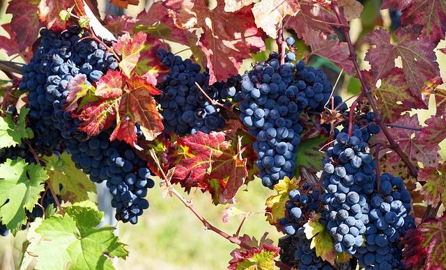 vino uva vendemmia