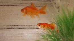Animali in classe pesce rosso